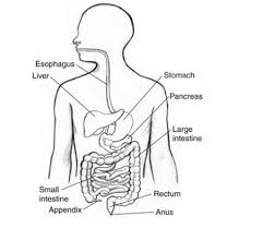 Diagram of digestive system image collections human anatomy line body