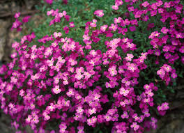 How to Grow and Care for Aubrieta