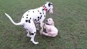 golden retriever dalmatian mix. Brilliant Dalmatian Dalmatian And Golden Retriever Puppy In Mix E