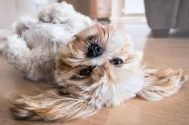 Lhasa Apso Diet Chart Your Lhasa Apso Feeding Guide Sharda Bakers Dog World