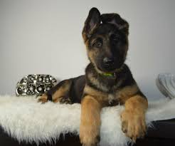 9 Amazing Facts About German Shepherd Dogs American Kennel