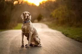 Weimaraner Dog Breed Information Pictures Characteristics