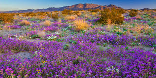 california s spring 2017 wildflower forecast