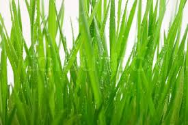 Close up of green grass blades against a white background Stock