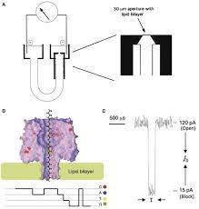 Frontiers The Evolution Of Nanopore Sequencing Genetics