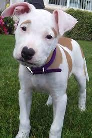 american bulldog pitbull boxer mix. Modren American American Bulldog Boxer Mix Puppy With Pitbull E