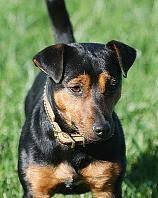 jack russell terrier black and tan.  Terrier The Only Association Set Out To Promote Preserve And Keep A Registry Of  The Original Black Tan Jack Russell Terrier And Terrier Black Tan