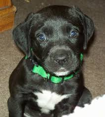 american bulldog lab mix. Wonderful American A Black With White American Bullador Puppy Is Sitting On A Carpet And It  Looking With Bulldog Lab Mix L
