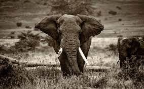 African Elephant Wallpaper 4k ...