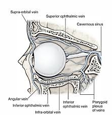 suspensory ligament of lockwood. ophthalmic veins suspensory ligament of lockwood o