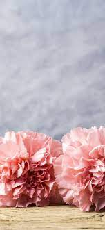 Pink carnation flowers, water droplets ...