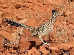 Greater Roadrunner (Geococcyx ...