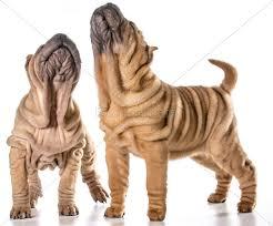 chinese shar pei puppies - Stock Photo ...