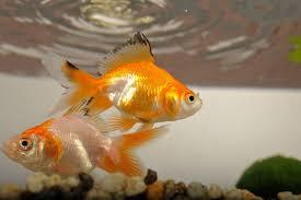 petco goldfish. Wonderful Goldfish Goldfish_3jpg And Petco Goldfish O