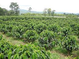 Well established manufacturing company for sale in south africa, with marketing structure in africa and tax benefits via its company in mauritius. Coffee Plants Of The World Specialty Coffee Association