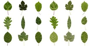 Stem Looking At Leaves Project Learning Tree