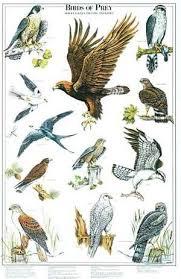 Birds Of Prey Poster Identification Chart Ii Birds Of Prey