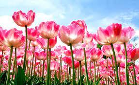 Flower Nature Wallpaper Desktop Hd