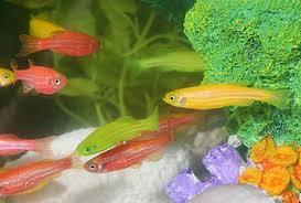 Transgenic Animals Recombinant Dna Technology And Transgenic Animals Learn