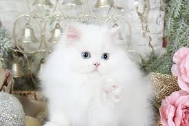 white persian cat. Interesting Cat White Persian Kitten Throughout Cat