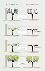 Cane And Spur Pruning Viticulture Te Ara Encyclopedia Of