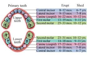 Puppy Teething Age Chart Puppy Teeth Chart