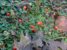plant identification closed grows in woods small round leaves red berries 1 by gardenstateguy