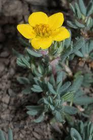 Dasiphora fruticosa - Wikipedia