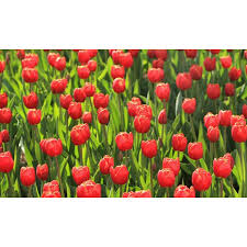 Holland Fotobehang Tulpen Rood 6224