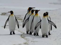 Emperor Penguins Marching Towards Extinction In A Warming