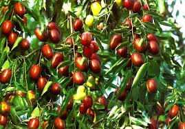 Jujube  Welcome To IranIranian Fruit Trees