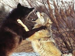 white wolf and black wolf fighting.  Wolf White Wolf And Black Fighting  Photo4 And Wolf Black Fighting