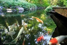 enjoy the stunning beauty of your own backyard koi pond