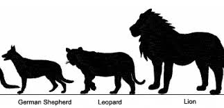 Centre For Fortean Zoology Australia Big Cat Or Little Cat