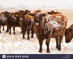 Light Livestock Livestock Snow Covered Red Angus Beef Cows On A Snow