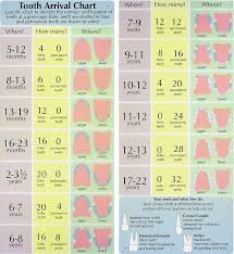 Tooth Arrival Chart The Woodlands Tx Spring Tx