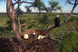 eagles nest size file eagles in nest by nasa jpg wikipedia