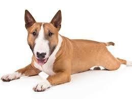 miniature bull terrier. Modren Miniature Is The Miniature Bull Terrier Right Dog For You With N