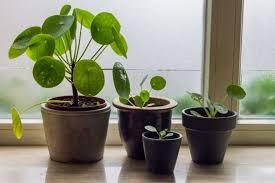 chinese money plant propagation pilea