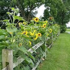 35 beautiful sunflower garden ideas to
