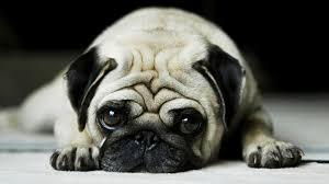 pug puppies ipad wallpaper. Exellent Puppies Pug Puppies Inside Ipad Wallpaper