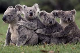 volunteer at a koala sanctuary in  koala sanctuary