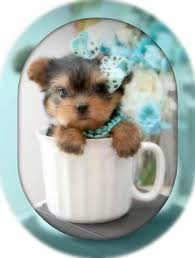 micro teacup yorkie puppies for sale. Beautiful For Intended Micro Teacup Yorkie Puppies For Sale R