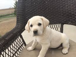 yellow lab puppies for sale. Beautiful Yellow AKC Yellow Lab Puppies Puppies And For Sale
