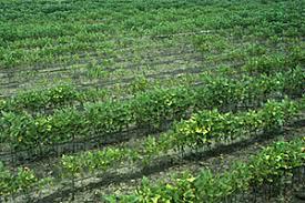 Soybean Cyst Nematode Disease