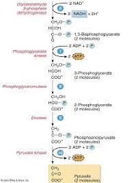 Glycolysis Steps Under Fontanacountryinn Com