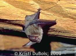 Types Of Bats Chart Townsends Big Eared Bat Montana Field Guide