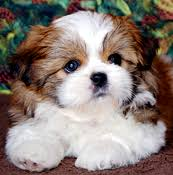 our shih tzu puppies and their pas wele you to their pad our puppies are raised as a part of our family in the house and around the pond