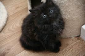 cute fluffy kittens. Exellent Kittens Very Cute Fluffy Black Male Kittens With Cute Kittens