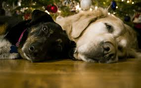 one Golden Retriever and one mixed breed lying down together close to a Christmas tree